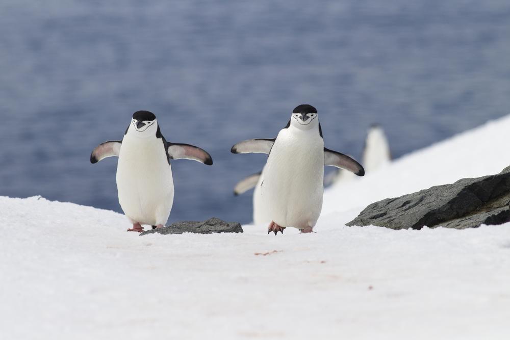 pingwin maskowy